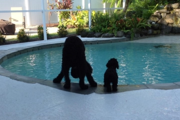 Swimming Pool with Dogs